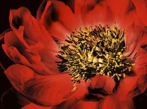 Red Peony I by Christine Zalewski