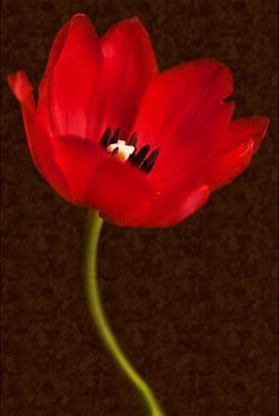 Red Tulip III by Christine Zalewski