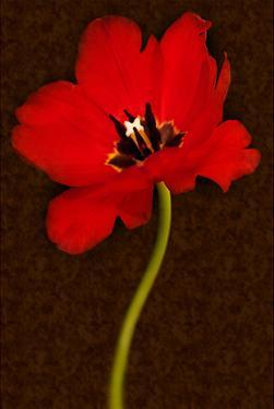 Red Tulip IV by Christine Zalewski