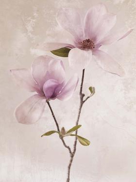 Tulip Blush II by Christine Zalewski