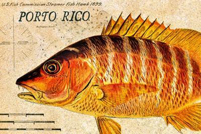 Vintage Color Fish, Porto Rico: US Fish Commission Fish Hawk 1900 by Christine Zalewski