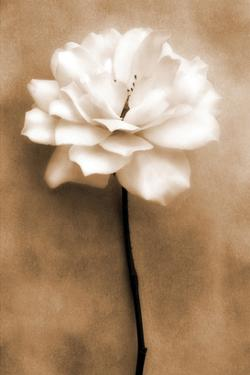 White Rose in Sepia by Christine Zalewski