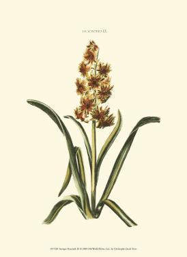 Antique Hyacinth IX by Christoph Jacob Trew