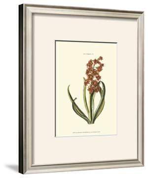 Antique Hyacinth V by Christoph Jacob Trew