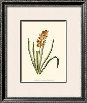Antique Hyacinth VIII by Christoph Jacob Trew