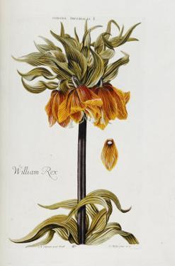 Corona Imperialis by Christoph Jacob Trew