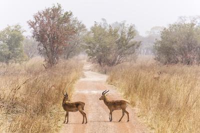 Buffon's kob (Kobus Kob) on track  in  Pendjari National Park, Benin