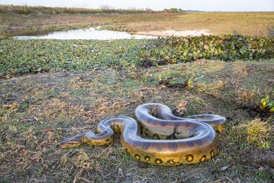 Giant Anaconda (Eunectes Murinus) Hato El Cedral, Llanos, Venezuela