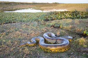 Giant Anaconda (Eunectes Murinus) Hato El Cedral, Llanos, Venezuela by Christophe Courteau