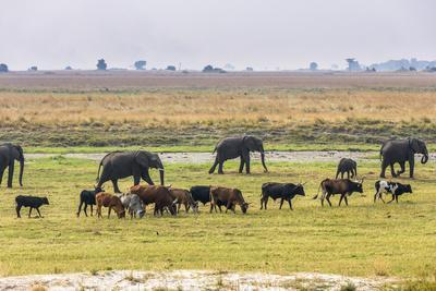 Herd of African Elephants grazing with cattle, Chobe National Park in Botswana