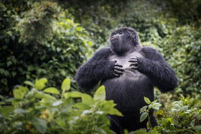 Mountain gorilla blackback, Volcanoes NP, Rwanda