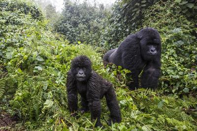 Mountain gorilla, silverback and juvenile son, Rwanda