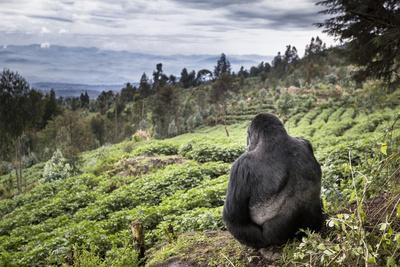 Mountain gorilla silverback on boundary wall, Rwanda