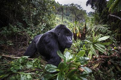 Mountain gorilla silverback, Volcanoes NP, Rwanda