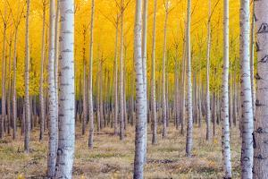 A Stand of Trees Begins to Weather Fall Cold Ablaze in Yellow Color Panoramic Composition by Christopher Boswell