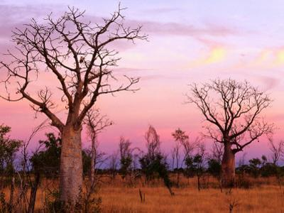 Boab Trees by Christopher Groenhout