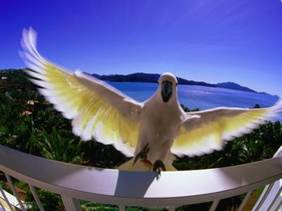 Cockatoo on Hotel Room Balcony by Christopher Groenhout