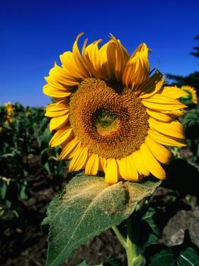 Sunflower Detail, Geelong, Victoria, Australia by Christopher Groenhout