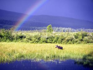 Moose in Marsh by Christopher Kimmel