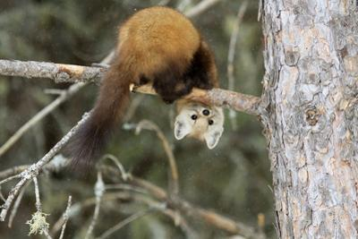Pine Martin in a tree in Canada by Christopher MacDonald