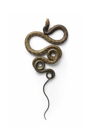 Cobra by Christopher Marley