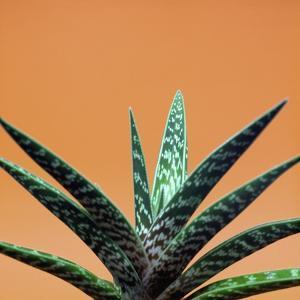 Aloe plant in front of orange background by Christopher Stevenson