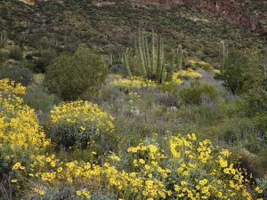 Arizona, Organ Pipe Cactus NM, Wildflowers in the Ajo Mountains by Christopher Talbot Frank