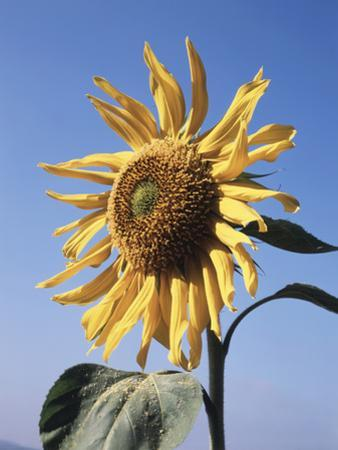 California, a Mammoth Sunflower, Helianthus, in Spring Valley
