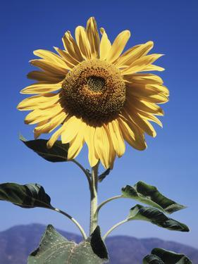 California, a Mammoth Sunflower, Helianthus, in Spring Valley by Christopher Talbot Frank