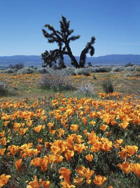 California, Antelope Valley, California Poppy and a Joshua Tree by Christopher Talbot Frank