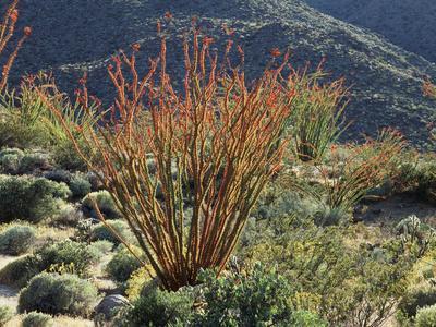 California, Anza Borrego Desert Sp, Blooming Ocotillos in the Desert