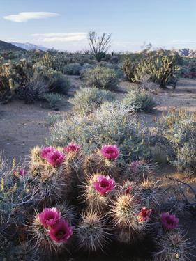 California, Anza Borrego Desert Sp, Calico Cactus, Flowers by Christopher Talbot Frank