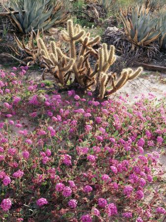 California, Anza Borrego Desert Sp, Sand Verbena and a Cholla Cactus