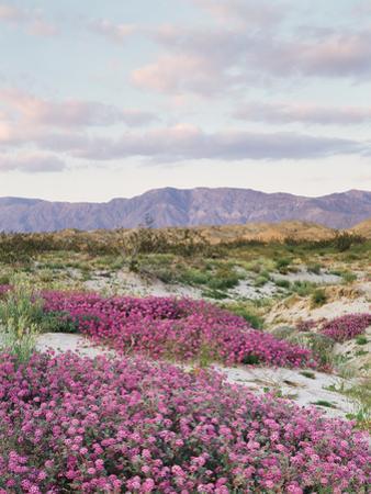 California, Anza Borrego Desert Sp, Sand Verbena in the Desert