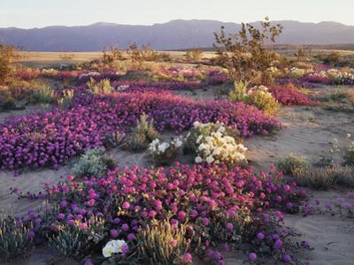 California, Anza Borrego Desert State Park, Desert Wildflowers by Christopher Talbot Frank