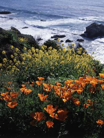 California, Big Sur Coast, Central Coast, California Poppy and Ocean