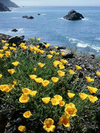 California, Big Sur Coast, Central Coast, California Poppy