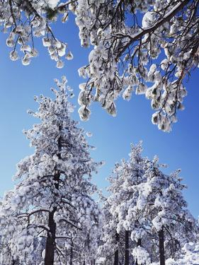 California, Cleveland Nf, Laguna Mountains, a Snow Covered Pine Tree by Christopher Talbot Frank