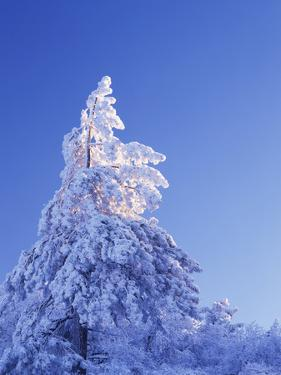 California, Cleveland Nf, Laguna Mountains, Snow Covered Pine Tree by Christopher Talbot Frank