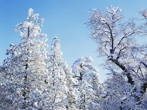 California, Cleveland Nf, Laguna Mts, Snow Covered Pine and Oak by Christopher Talbot Frank
