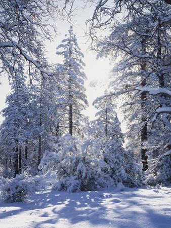 California, Cleveland Nf, Laguna Mts, Winter Sunrise in Forest by Christopher Talbot Frank