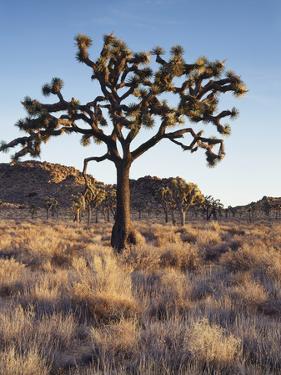 California, Joshua Tree National Park, a Joshua Tree in the Mojave Desert by Christopher Talbot Frank