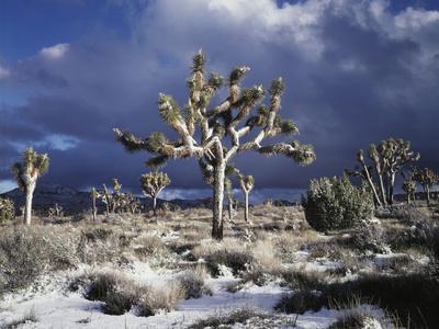 California, Joshua Tree National Park, Mojave Desert, Snow Covered Joshua Tree