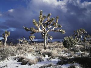 California, Joshua Tree National Park, Mojave Desert, Snow Covered Joshua Tree by Christopher Talbot Frank