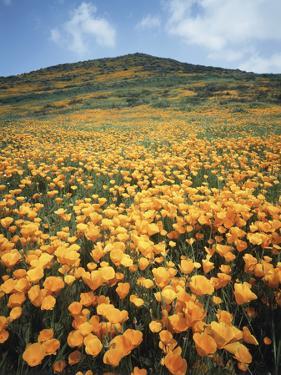 California, Lake Elsinore, Field of California Poppys on the Hillside by Christopher Talbot Frank