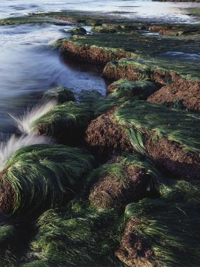 California, San Diego, Waves Crash on Eel Grass Covered Rocks by Christopher Talbot Frank