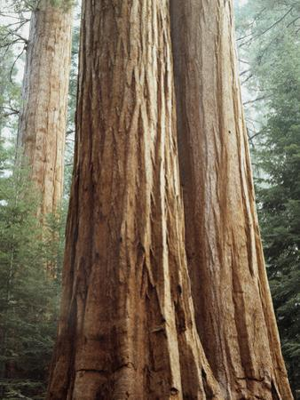 California, Sequoia Nf, Giant Sequoia Redwood Trees by Christopher Talbot Frank