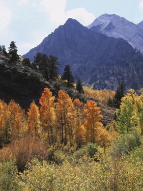 California, Sierra Nevada, Autumn Aspens in the Mcgee Creak Area by Christopher Talbot Frank