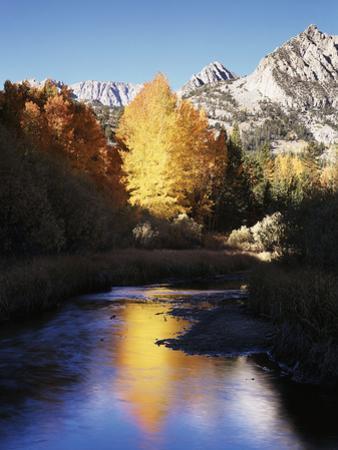 California, Sierra Nevada, Autumn Aspens Reflecting in Bishop Creek