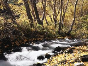 California, Sierra Nevada, Inyo Nf, Cottonwood Trees Along Mcgee Creek by Christopher Talbot Frank